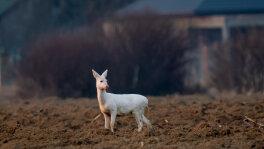 Niezwykła sarna albinos