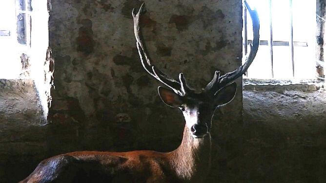 Jeleń tonął w mule, teraz wraca do zdrowia