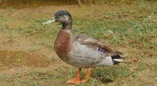 Nie żyje Trevor - najbardziej samotna kaczka świata
