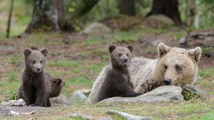 W Bieszczadach możecie wpaść na niedźwiedzia. Jak zachować się podczas spotkania?