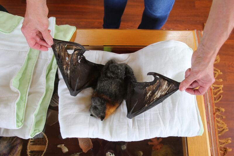 Nie wszystkie rudawki udało się uratować (PAP/EPA/STEVEN SAPHORE)